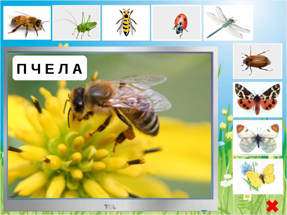 О С А Оса - насекомые стебельчатобрюхие, это все жалящие, не относящиеся к п...