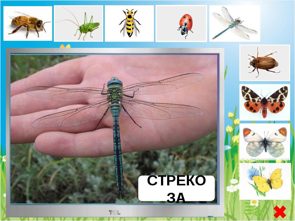 БАБОЧКА ЛИМОННИЦА Бабочка Лимонница - или круши́нница дневная бабочка из семе...