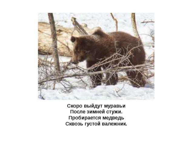 Скоро выйдут муравьи После зимней стужи. Пробирается медведь Сквозь густой ва...