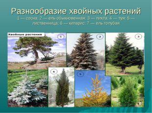 Разнообразие хвойных растений 1 — сосна; 2 — ель обыкновенная; 3 — пихта; 4 —
