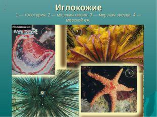 Иглокожие 1 — голотурия; 2 — морская лилия; 3 — морская звезда; 4 — морской еж.