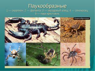 Паукообразные 1 — скорпион; 2 — фаланга; 3 — иксодовый клещ; 4 — сенокосец; 5