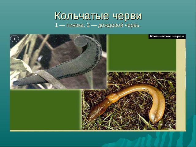 Кольчатые черви 1 — пиявка; 2 — дождевой червь.