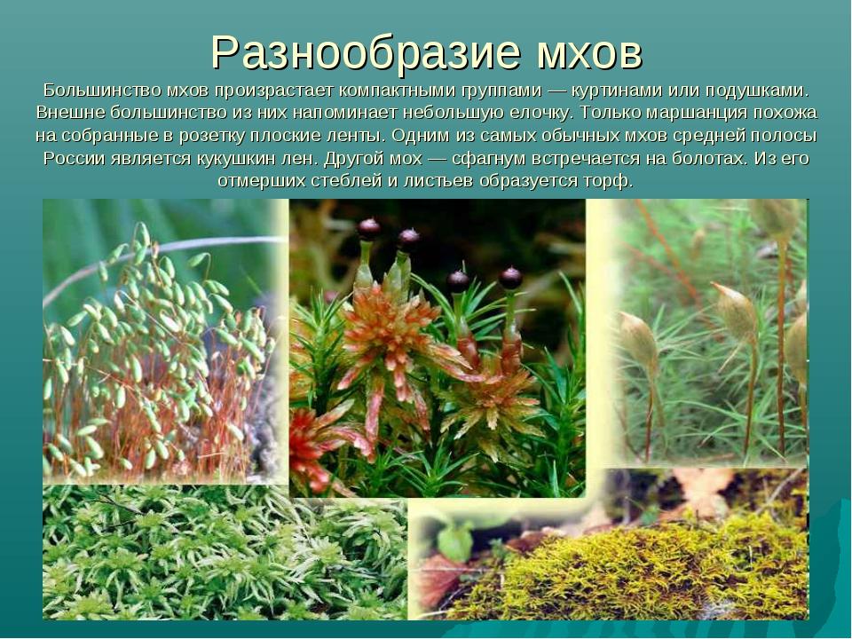 разнообразие мхов с картинками талалихин