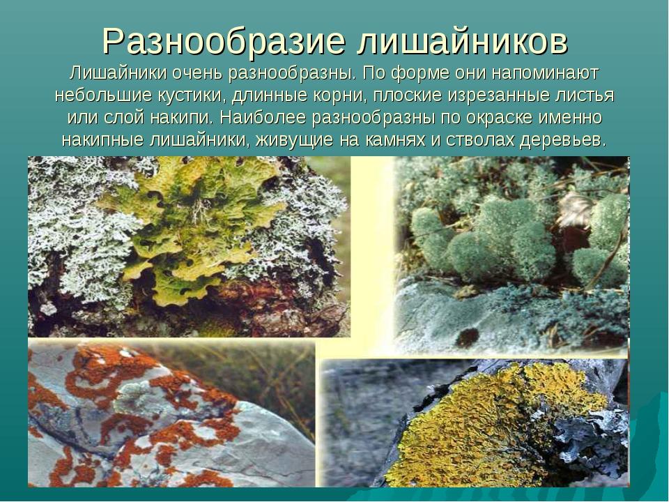 Разнообразие лишайников Лишайники очень разнообразны. По форме они напоминают...