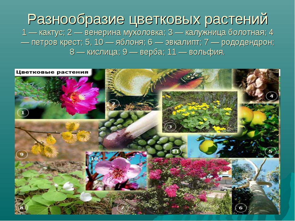 Разнообразие цветковых растений 1 — кактус; 2 — венерина мухоловка; 3 — калуж...