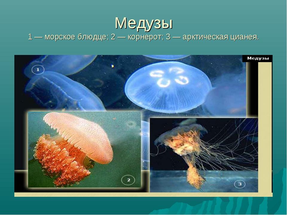 Медузы 1 — морское блюдце; 2 — корнерот; 3 — арктическая цианея.