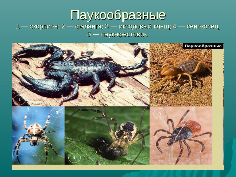 Паукообразные 1 — скорпион; 2 — фаланга; 3 — иксодовый клещ; 4 — сенокосец; 5...