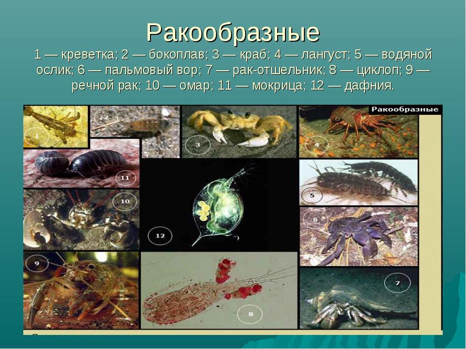 Ракообразные 1 — креветка; 2 — бокоплав; 3 — краб; 4 — лангуст; 5 — водяной о...