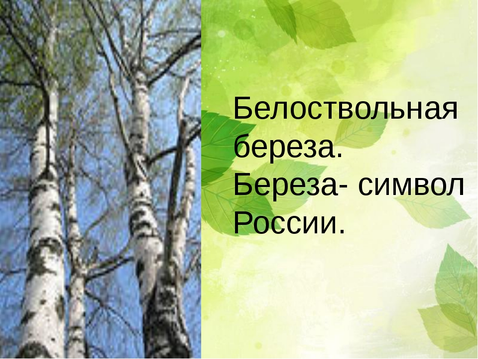 Белоствольная береза. Береза- символ России.