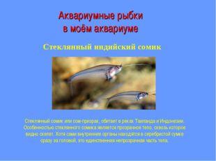 Аквариумные рыбки в моём аквариуме Стеклянный индийский сомик Стеклянный соми