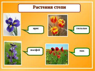 Растения степи ирис шалфей тюльпан мак