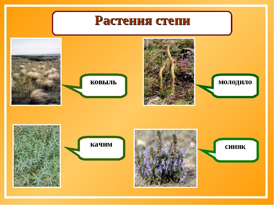 Растения степи ковыль качим молодило синяк
