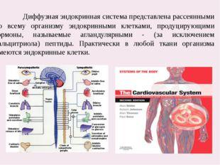 Диффузная эндокринная система представлена рассеянными по всему организму эн