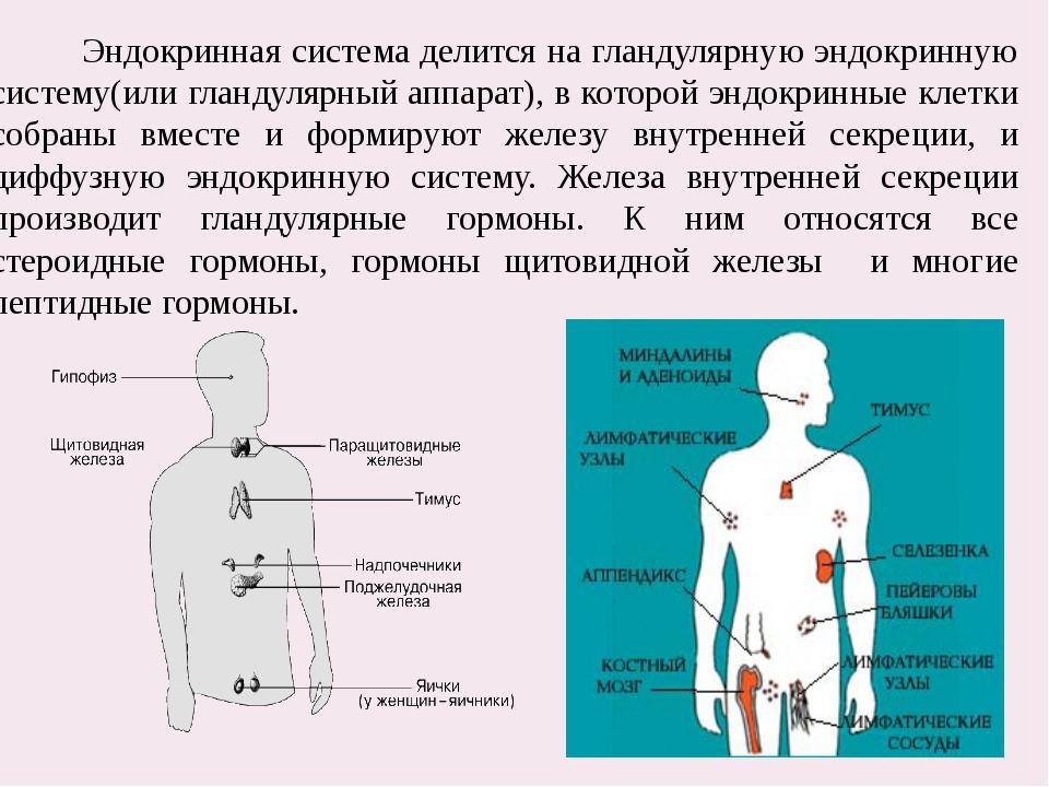 Эндокринная система делится на гландулярную эндокринную систему(или гландуля...