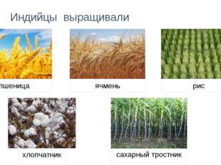 Индийцы выращивали рис хлопчатник сахарный тростник пшеница ячмень