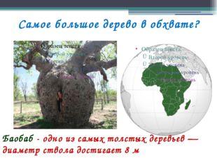 Самое большое дерево в обхвате? Баобаб - одно из самых толстых деревьев — диа