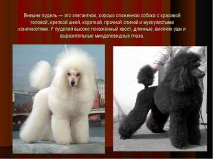 Внешне пудель — это элегантная, хорошо сложенная собака с красивой головой, к