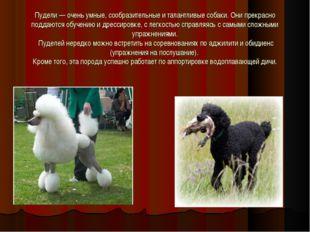 Пудели — очень умные, сообразительные и талантливые собаки. Они прекрасно под