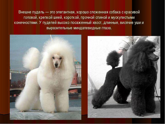 Внешне пудель — это элегантная, хорошо сложенная собака с красивой головой, к...
