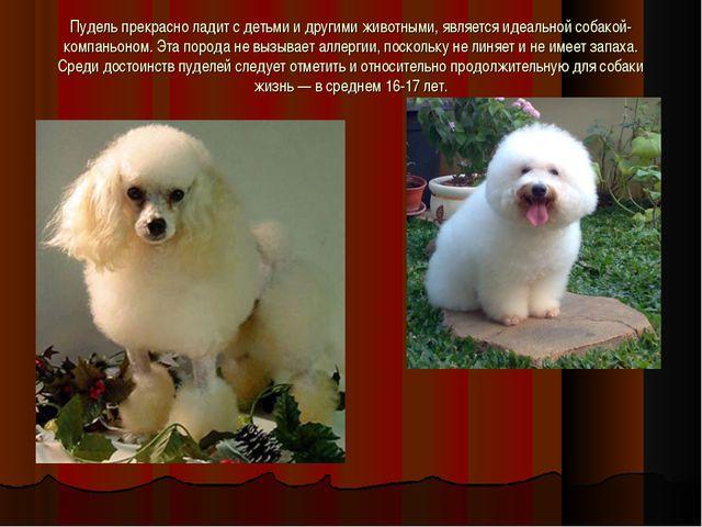 Пудель прекрасно ладит с детьми и другими животными, является идеальной собак...