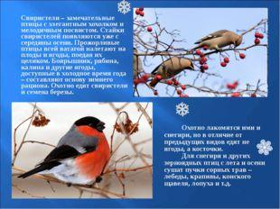 Свиристели – замечательные птицы с элегантным хохолком и мелодичным посвисто