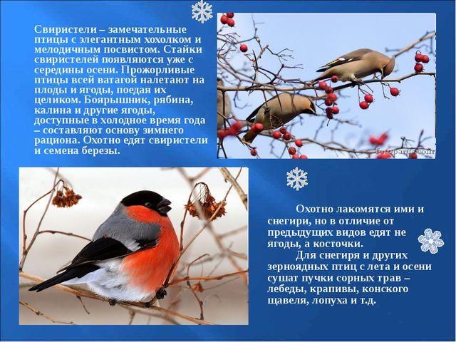 Свиристели – замечательные птицы с элегантным хохолком и мелодичным посвисто...