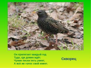 Сначала прилетают самцы. Они находят подходящее гнездо и начинают петь. Когд