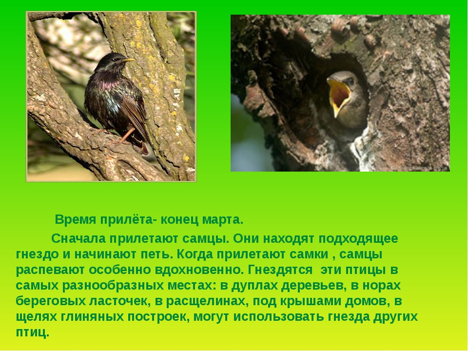 Но люди, стараясь привлечь к своим садам эту полезную птицу, развешивают скв...