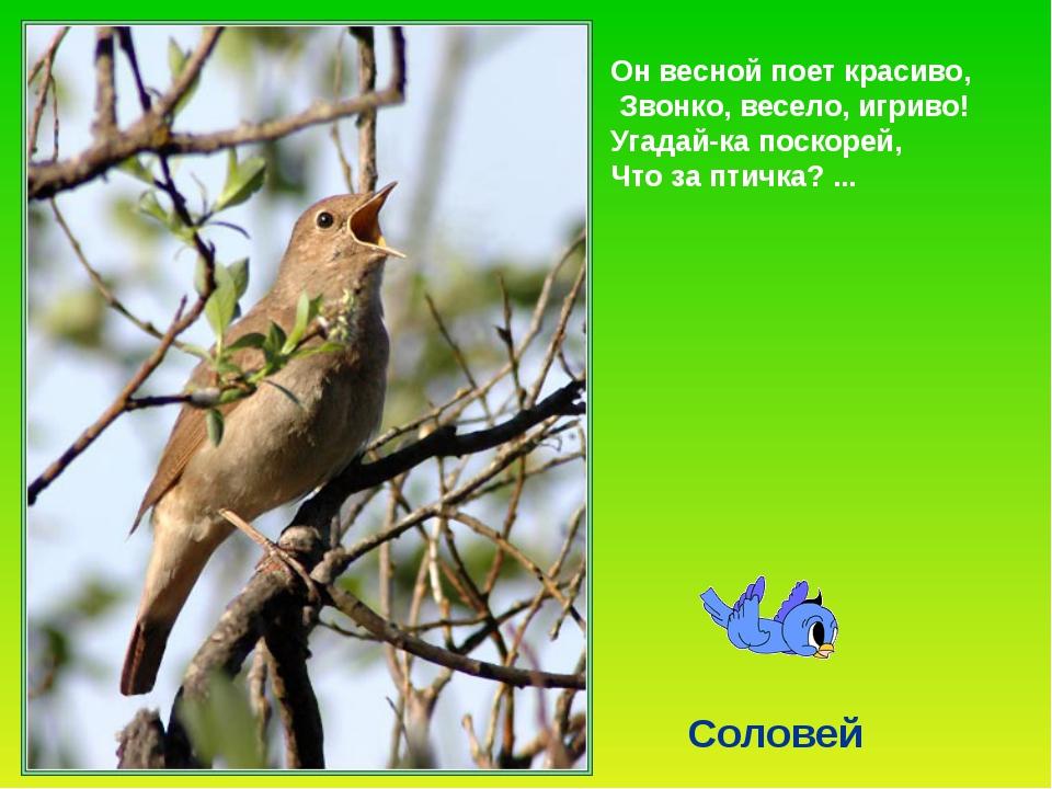 Соловей – птица невидимка. Он не ярок, да ещё и осторожен. Соловьи, как и лю...