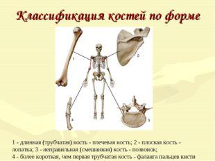 Классификация костей по форме 1 - длинная (трубчатая) кость - плечевая кость;