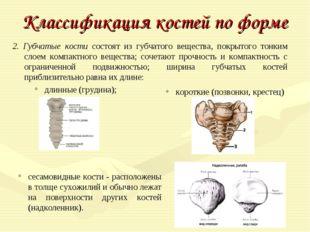 Классификация костей по форме 2. Губчатые кости состоят из губчатого вещества