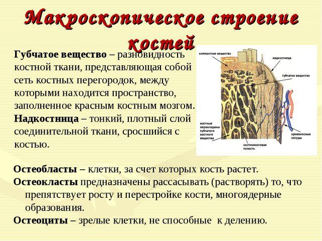 Макроскопическое строение костей Губчатое вещество– разновидность костной тк...