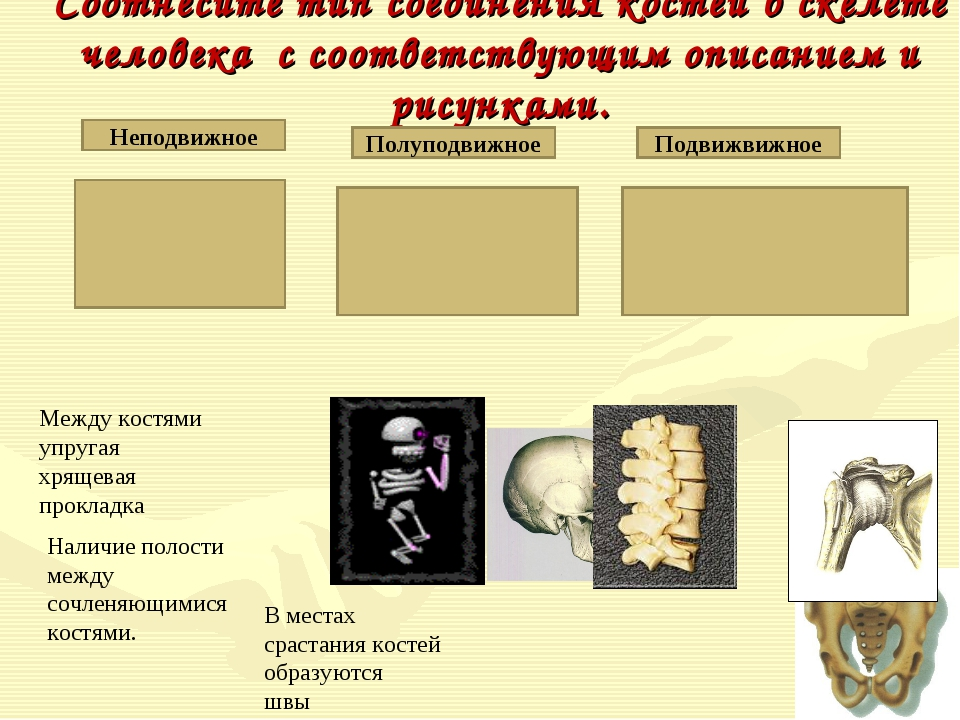 Соотнесите тип соединения костей в скелете человека с соответствующим описани...