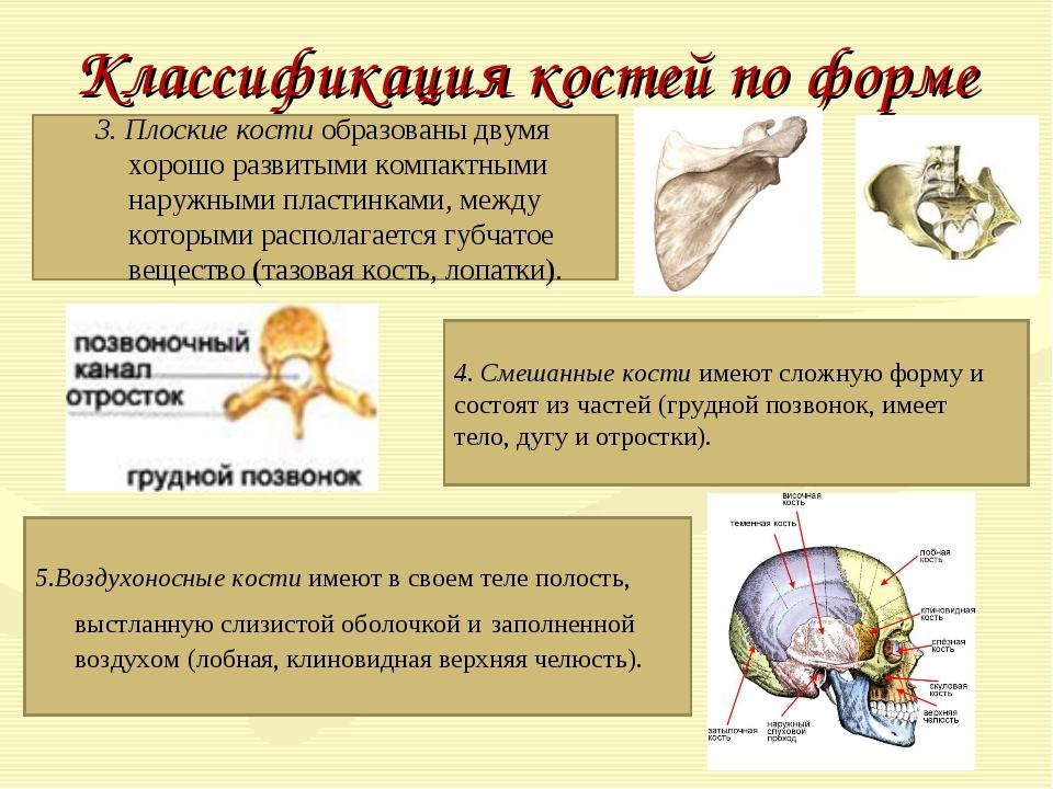 Классификация костей по форме 3. Плоские костиобразованы двумя хорошо развит...