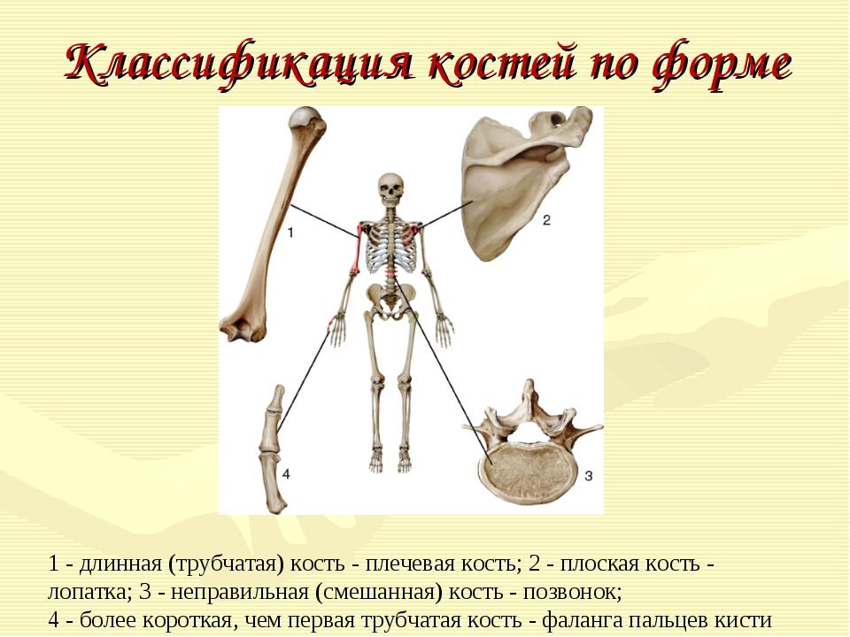 Классификация костей по форме 1 - длинная (трубчатая) кость - плечевая кость;...