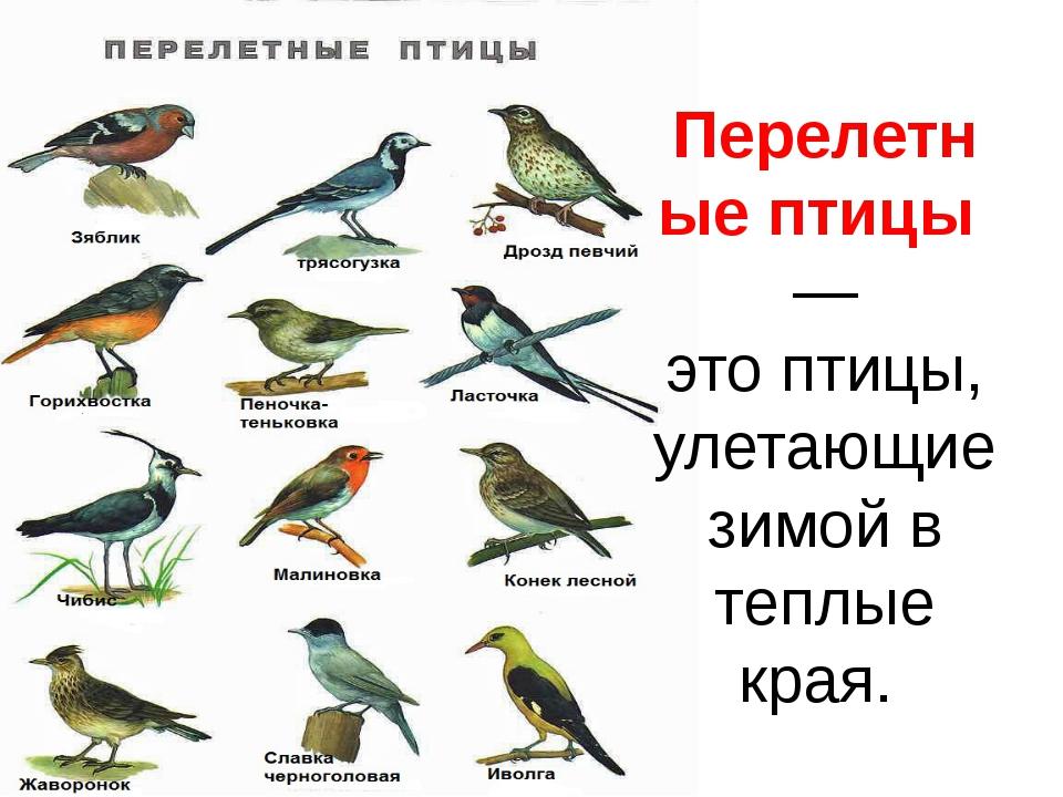 Перелетныептицы— этоптицы, улетающие зимой в теплые края.