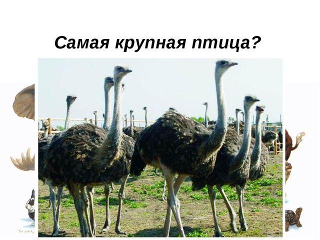 Самая крупная птица?