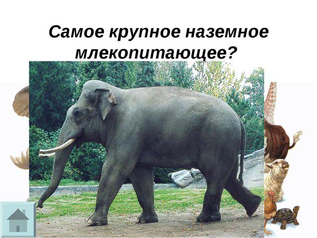 Самое крупное наземное млекопитающее?