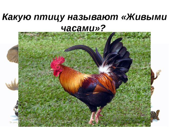 Какую птицу называют «Живыми часами»?