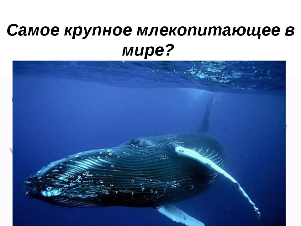 Самое крупное млекопитающее в мире?