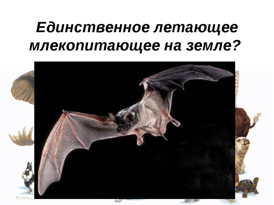 Единственное летающее млекопитающее на земле?