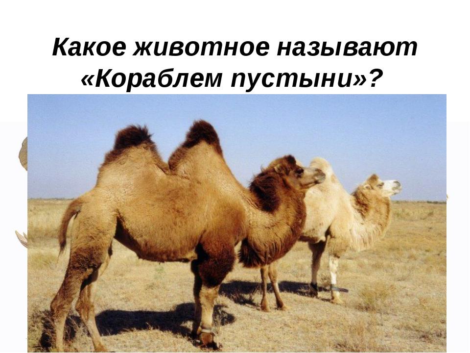 Какое животное называют «Кораблем пустыни»?