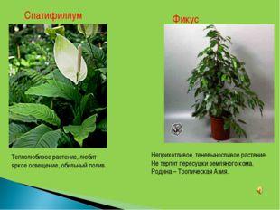 Спатифиллум Теплолюбивое растение, любит яркое освещение, обильный полив. Фик