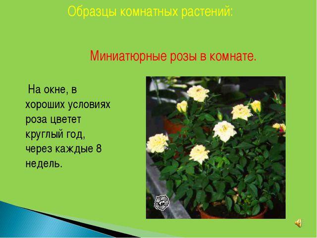Образцы комнатных растений: Миниатюрные розы в комнате. На окне, в хороших ус...