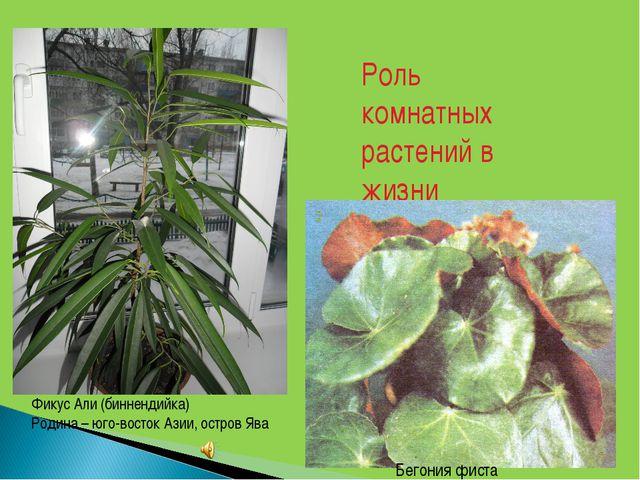 Роль комнатных растений в жизни человека Бегония фиста Фикус Али (биннендийка...
