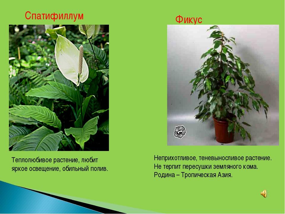 Спатифиллум Теплолюбивое растение, любит яркое освещение, обильный полив. Фик...