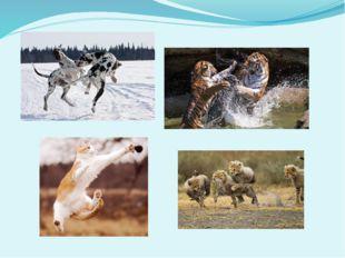 Животные помоложе сразу же после этих церемоний готовы порезвиться или поигр