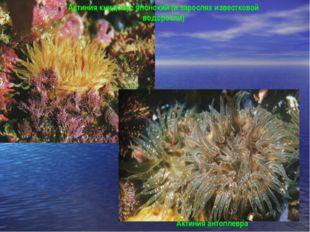 Актиния антоплевра Актиния книдопус японский (в зарослях известковой водоросли)
