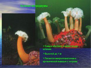 Самые обычные в наших водах актинии. Высотой до 1 м Питаются микропланктоном